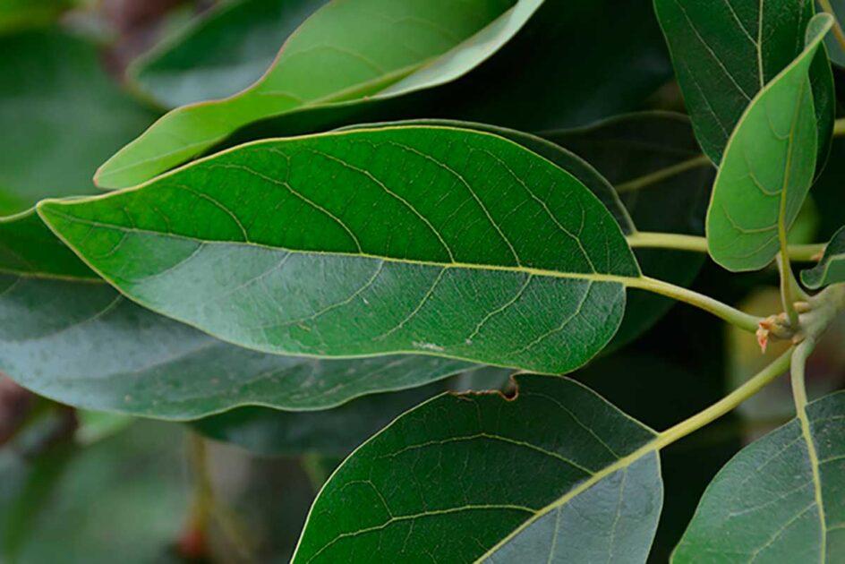 benefícios da folha de abacate